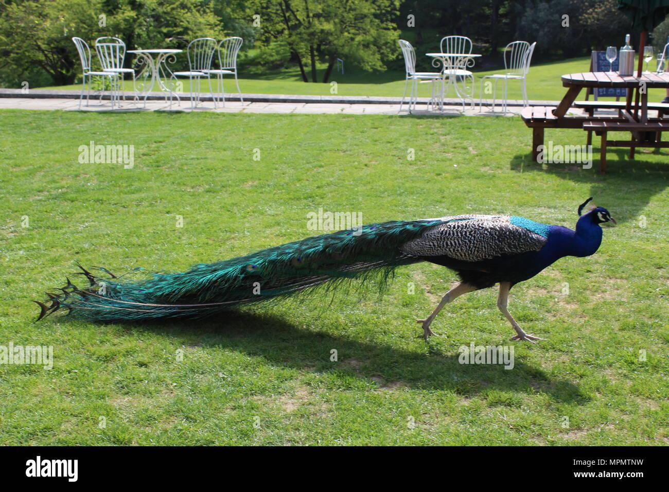 Peacock walking through garden - Stock Image