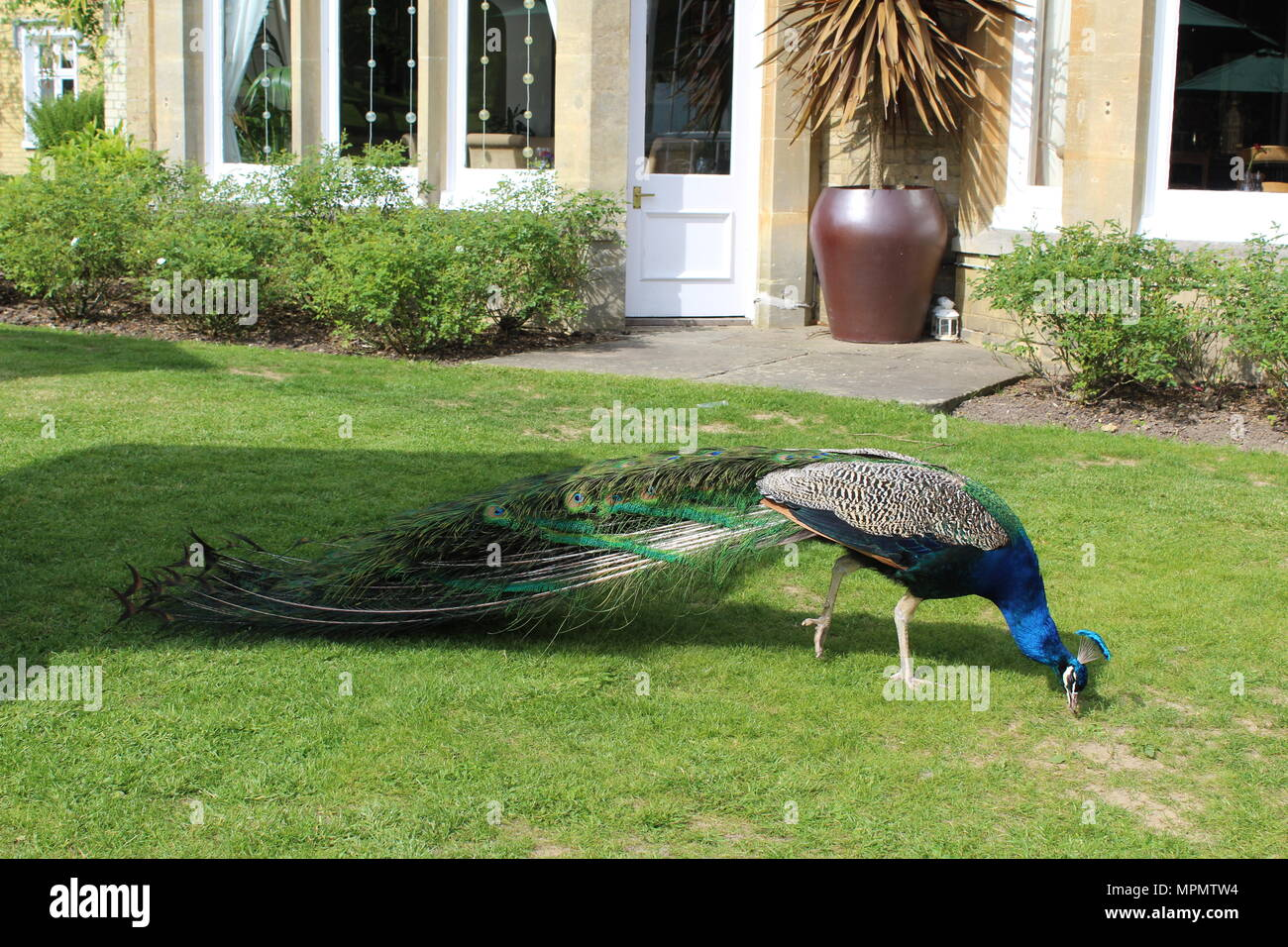 Peacock walking by a house - Stock Image