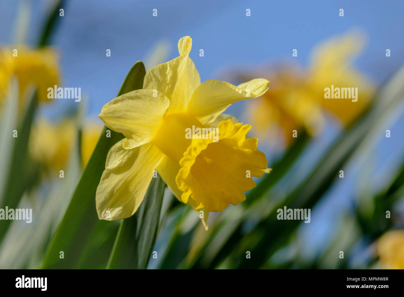 Close up of a Narcissus flower, blurry background Stock Photo
