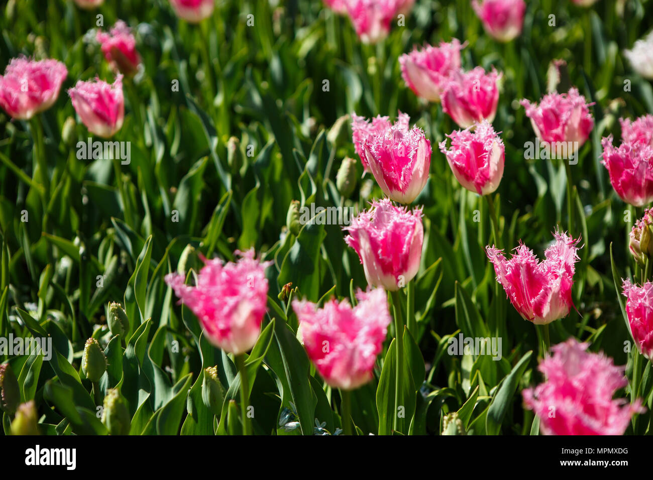 Beautiful Colorful Pink Tulips Flowers Bloom In Spring Garden