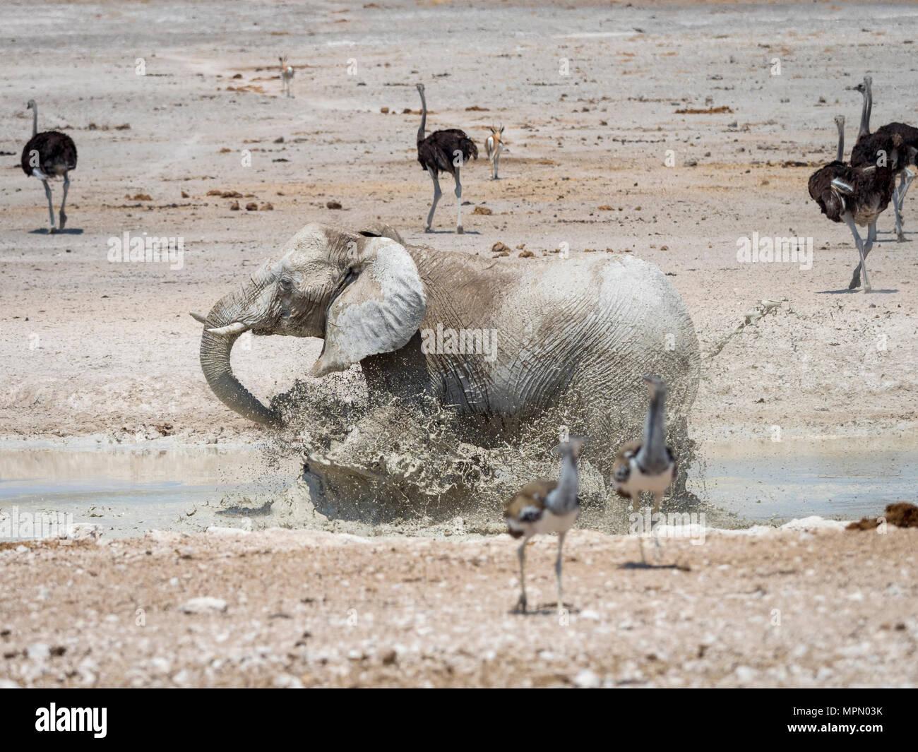 Africa, Namibia, Etosha National Park, Elefant running into water, mudbath, Loxodonta Africana - Stock Image