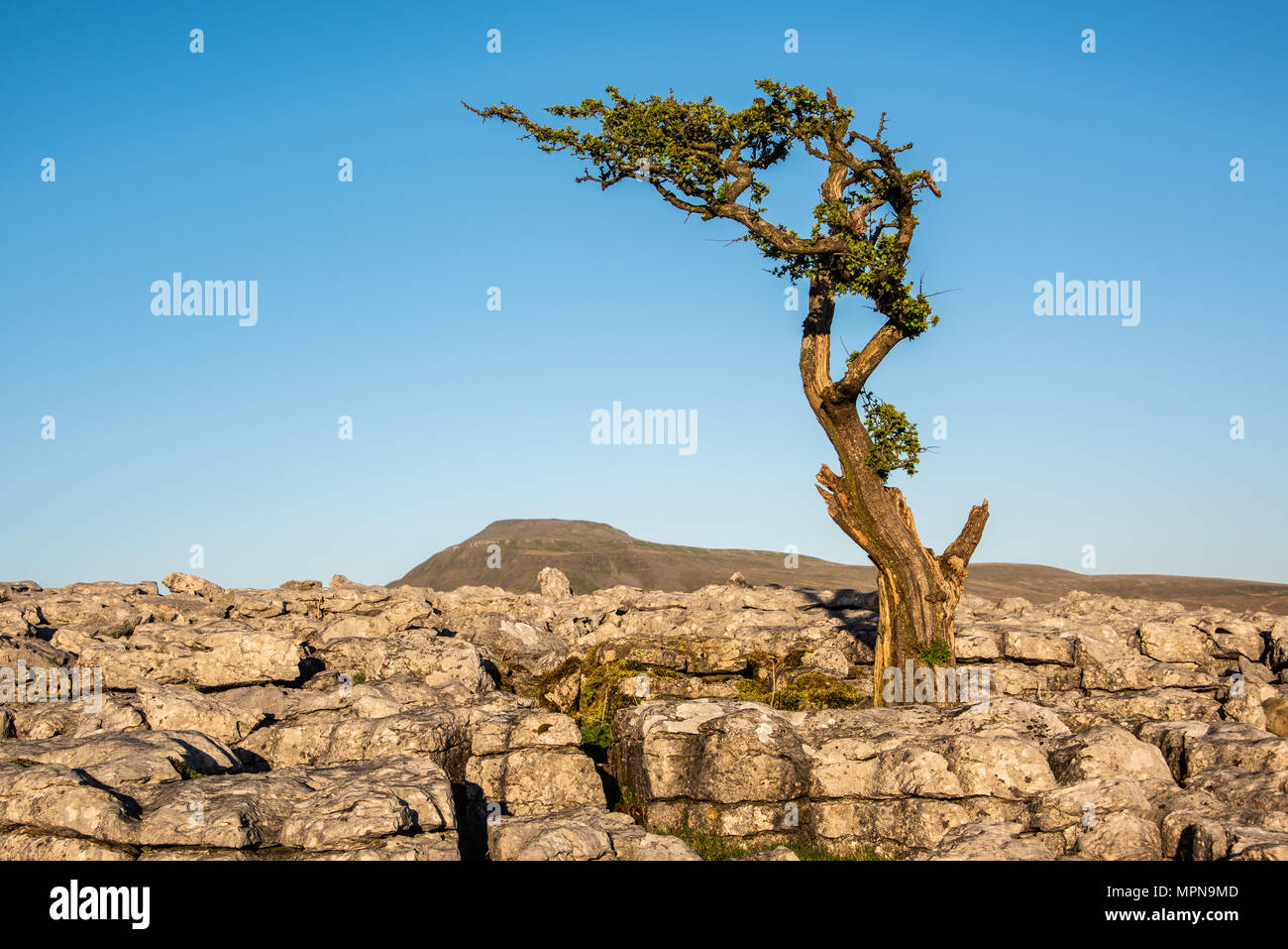 A lone tree amonst limestone pavement on Twistleton Scar above the village of Ingleton in the Yorkshire Dales - Stock Image
