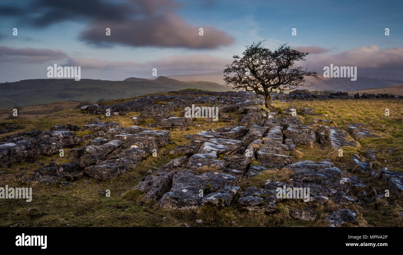 A lone tree amonst limestone pavement on the hills above the village of Settle in the Yorkshire Dales - Stock Image