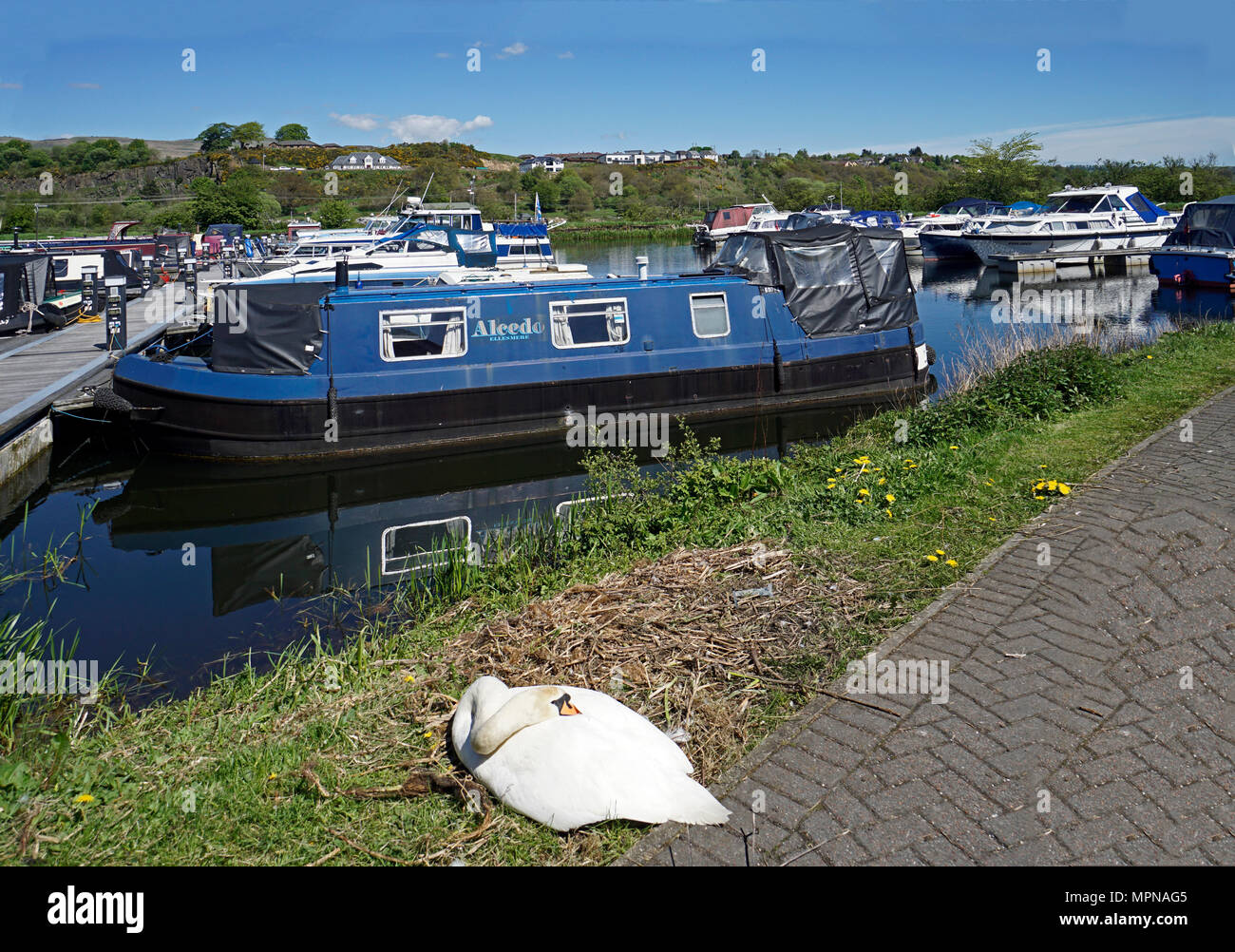 Boats moored in the basin on the Forth and Clyde Canal at village Auchinstarry near Kilsyth North Lanarkshire Scotland UK with swan sleeping front - Stock Image