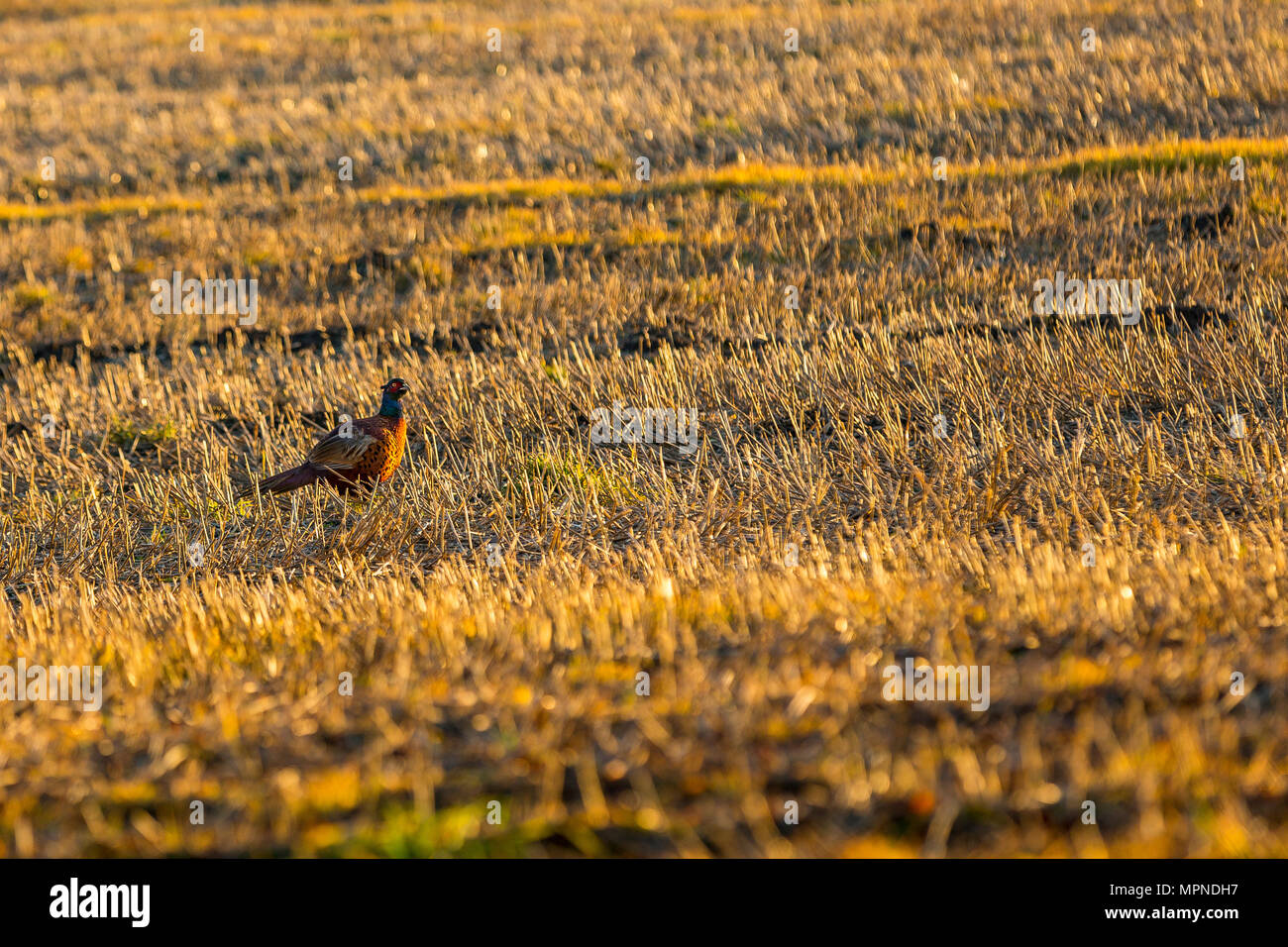 A male pheasant in a cropped cornfield in Wentworth, South Yorkshire. - Stock Image