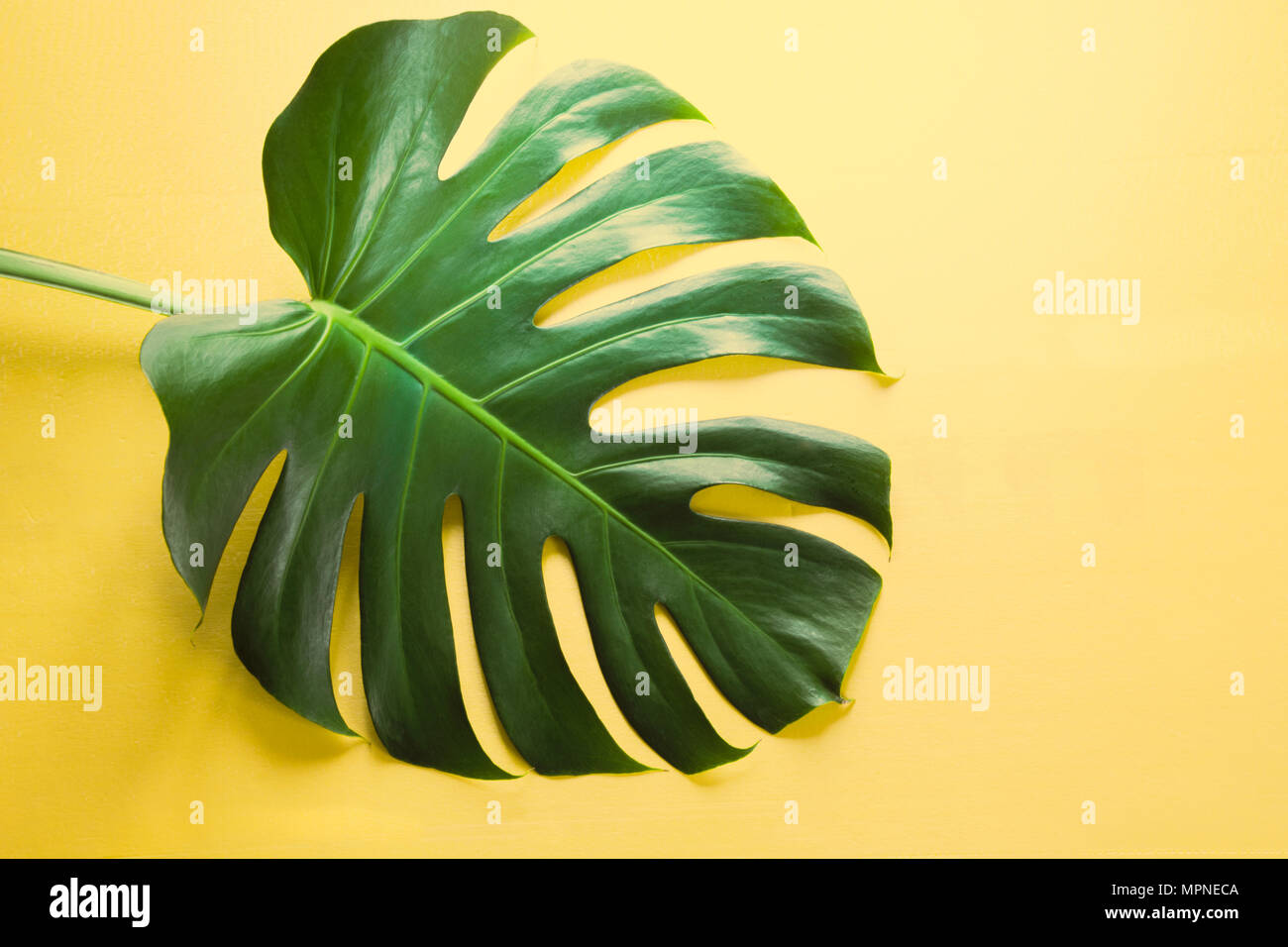 Single leaf of Monstera on yellow background. Close up, isolated with copy space. - Stock Image