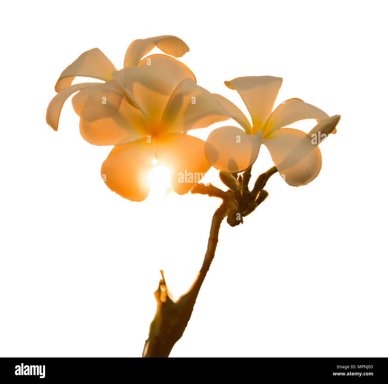 Plumeria frangipani white flowers are exposed to sunlight, orange color changes. on white background. Isolated. - Stock Image
