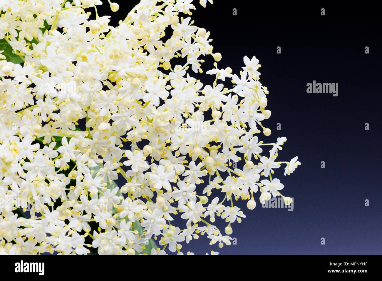 White Lace Of Small Flowers With A Blue Background Stock Photo