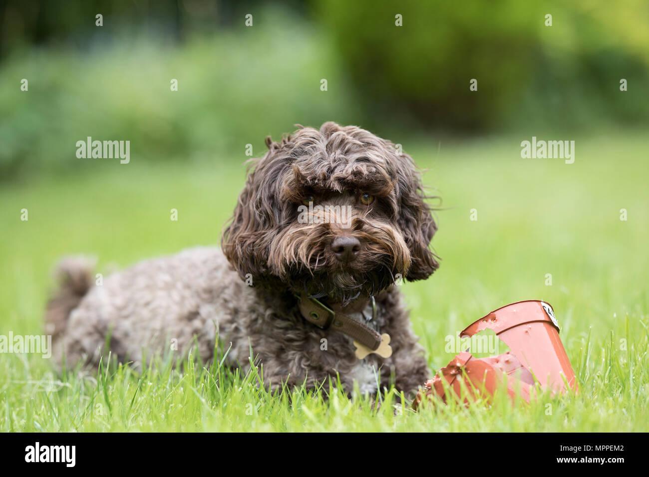 Cockerpoo dog in a garden in Surrey,UK Stock Photo