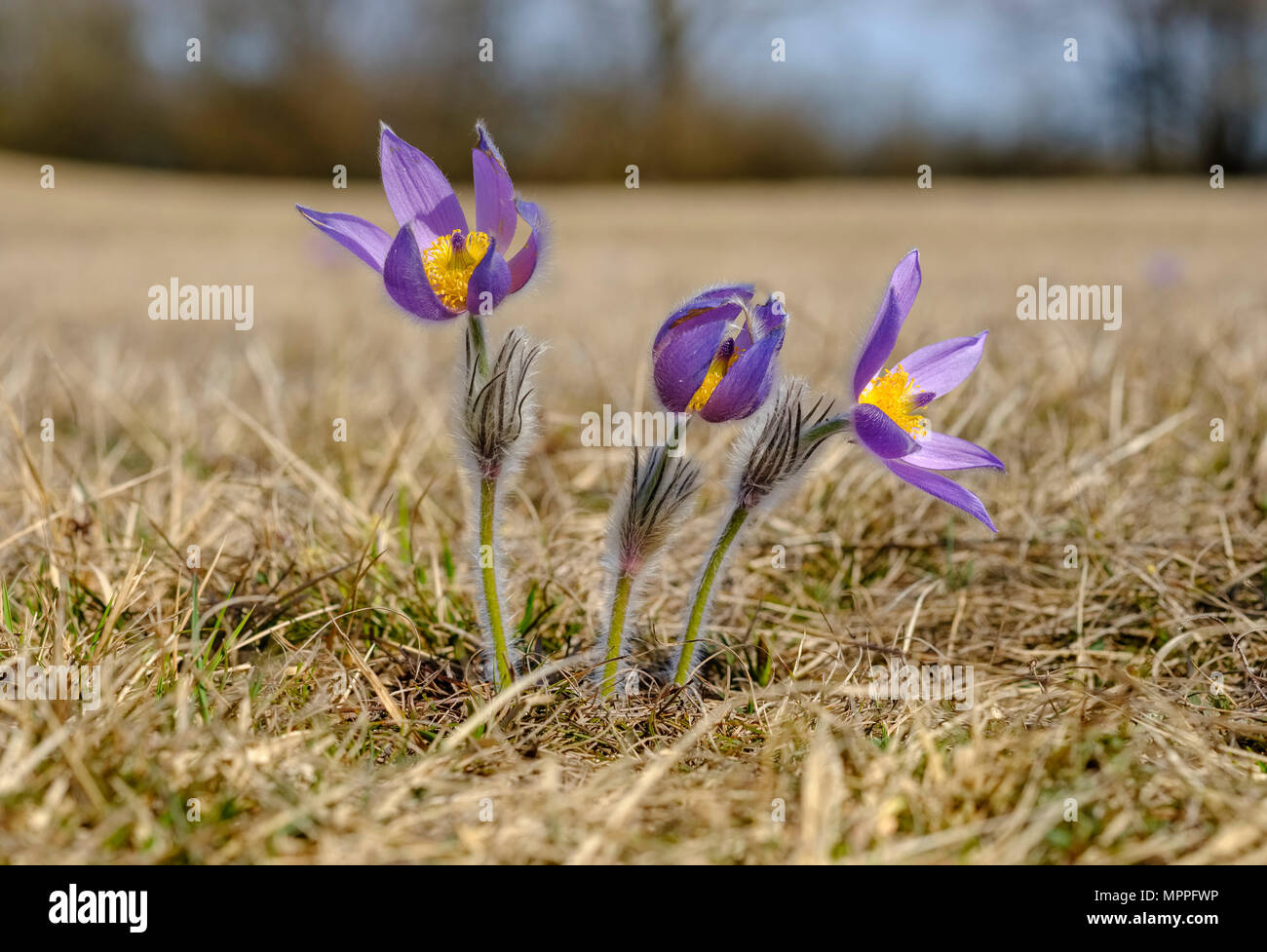 Eastern pasqueflower, Pulsatilla patens - Stock Image