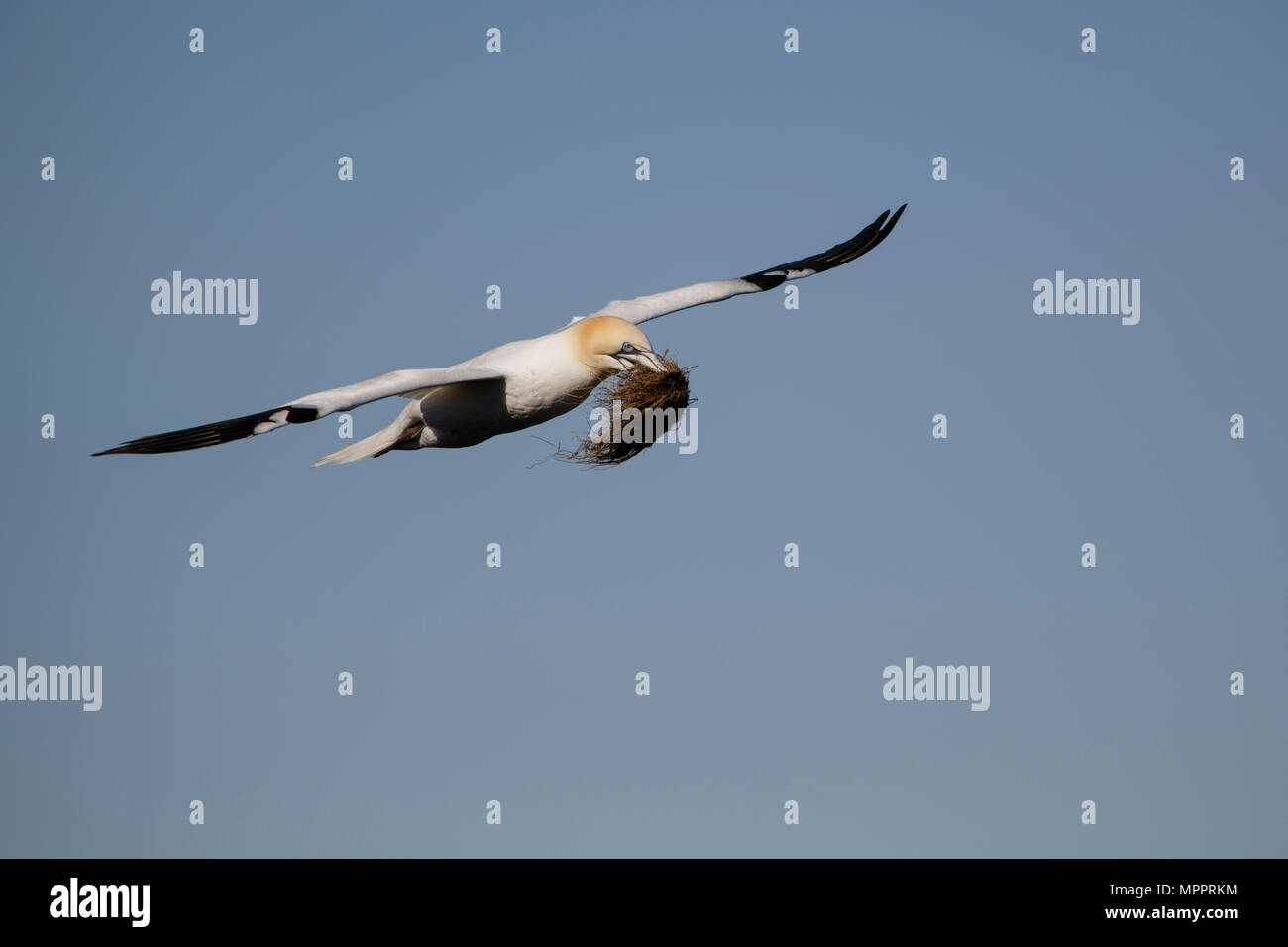 Scotland, flying Northern gannet with nesting material - Stock Image