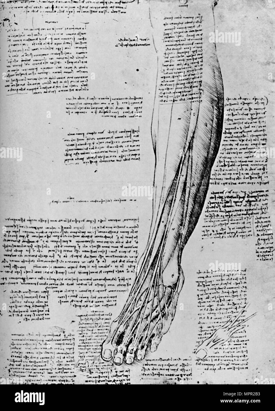 'Anatomical Study of Muscles of Foot', 1928. Artist: Leonardo da Vinci. - Stock Image