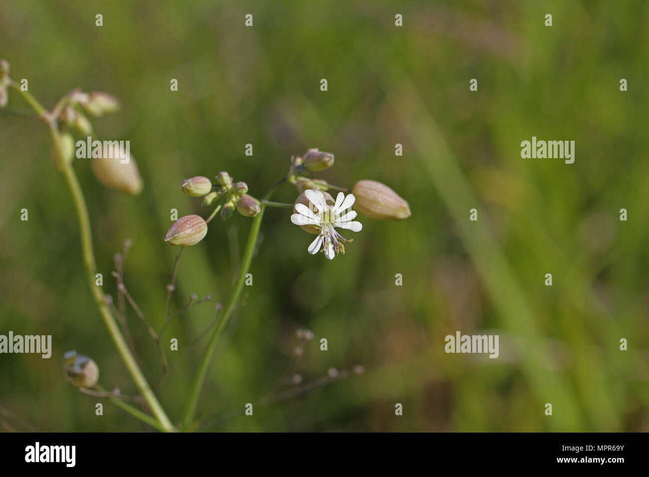 bladder campion or maidens tears Latin silene vulgaris from the pink family caryophyllaceae edible wild flower used in risotto in some parts of Italy - Stock Image