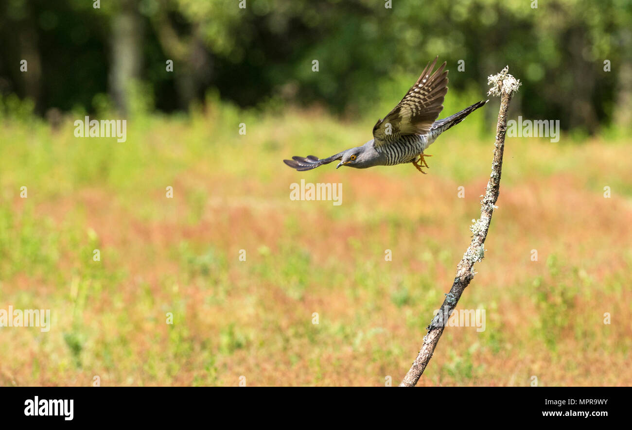 Male common cuckoo (Cuculus canorus) in flight - Stock Image