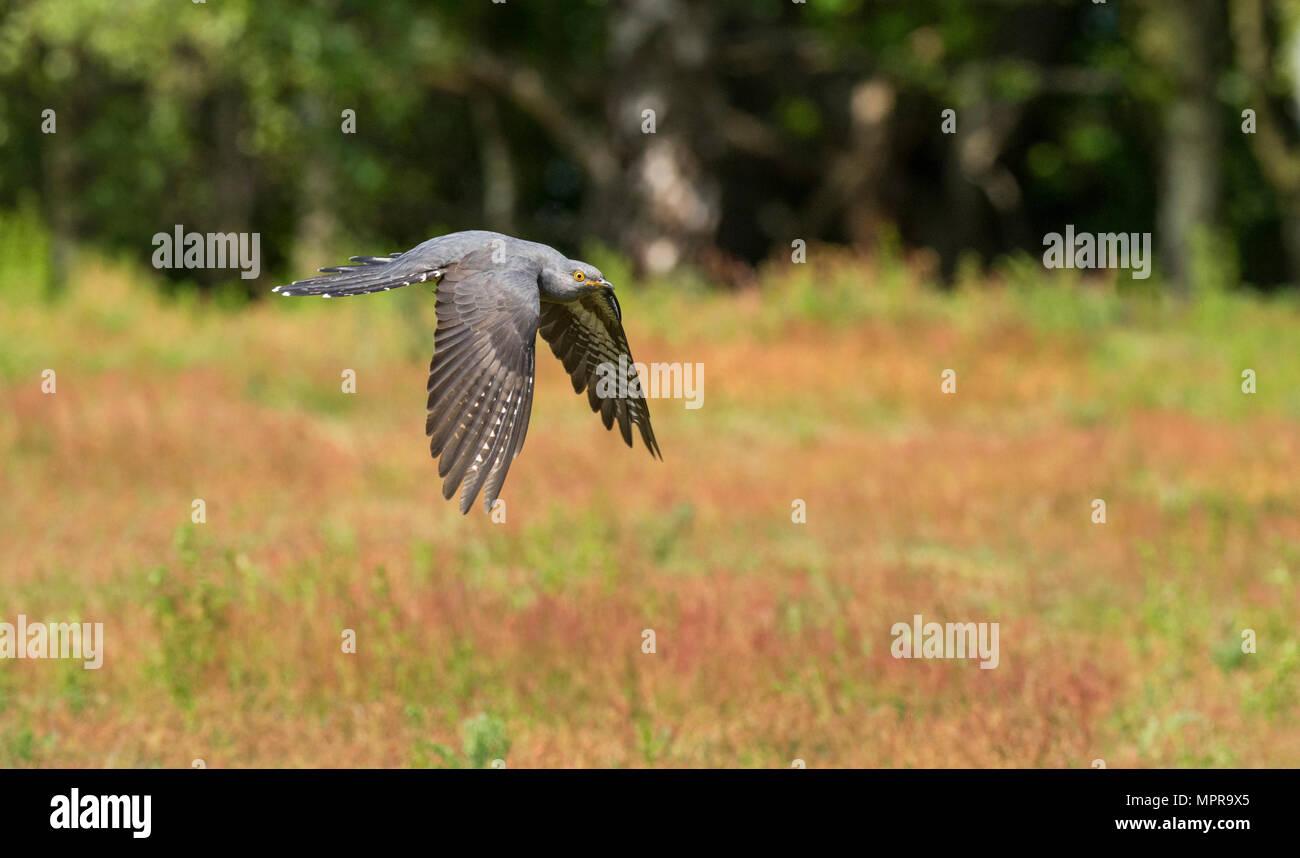 Male common cuckoo (Cuculus canorus) in flight - Stock Image