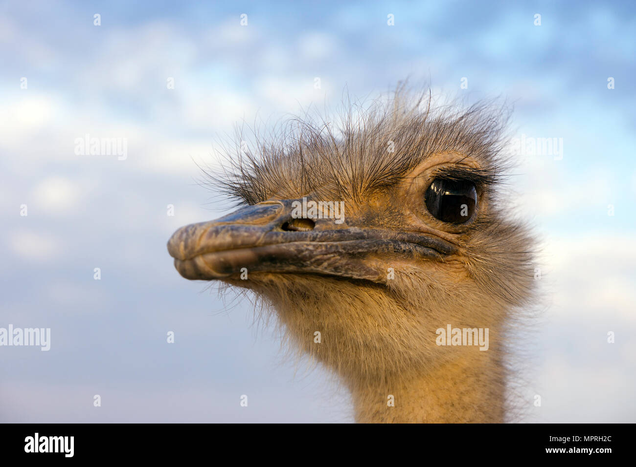 Portrait of ostrich - Stock Image