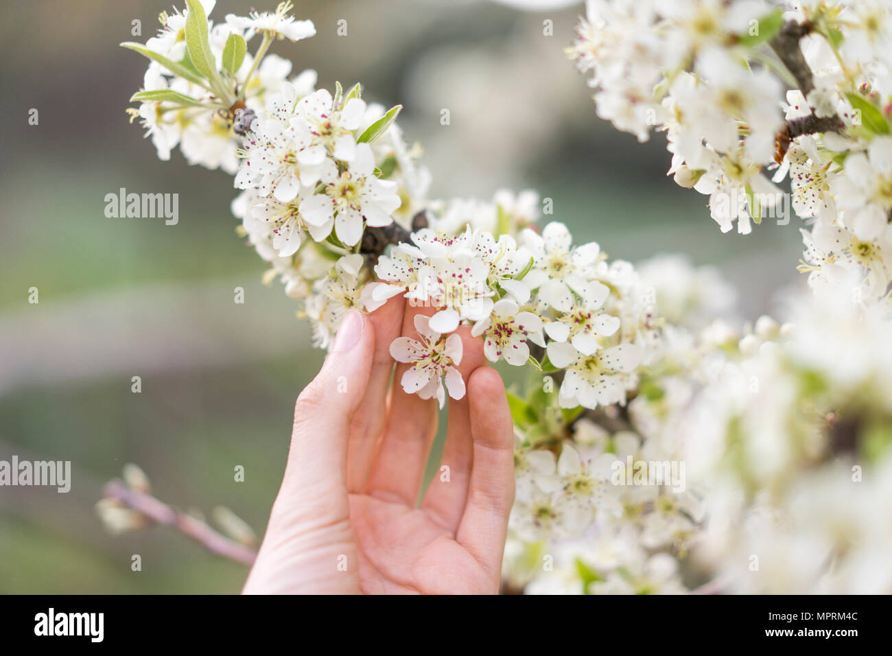 Hand touching white blossoms of fruit tree, close-up - Stock Image