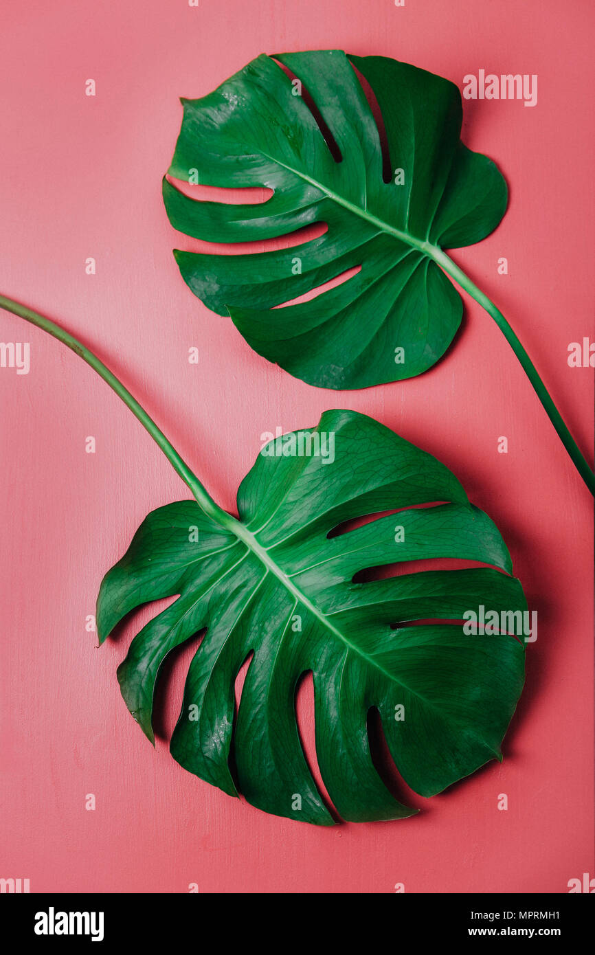 Monstera leaf on pink background, Monstera deliciosa Stock Photo