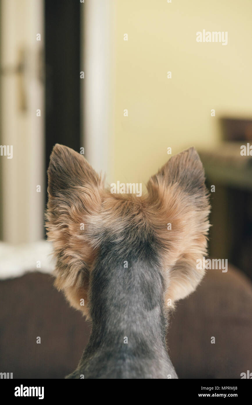 Portrait of yorkshire terrier, backview, looking to door - Stock Image