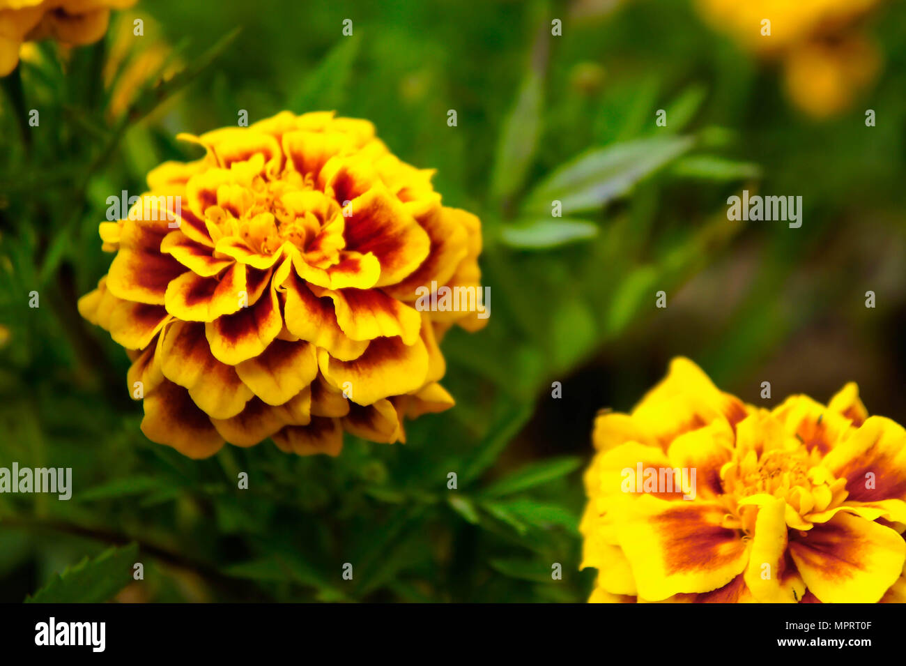 Marigold flowers in the garden on summer yellow flowers beautiful marigold flowers in the garden on summer yellow flowers beautiful flowers on summer in the nice day herb flowers izmirmasajfo