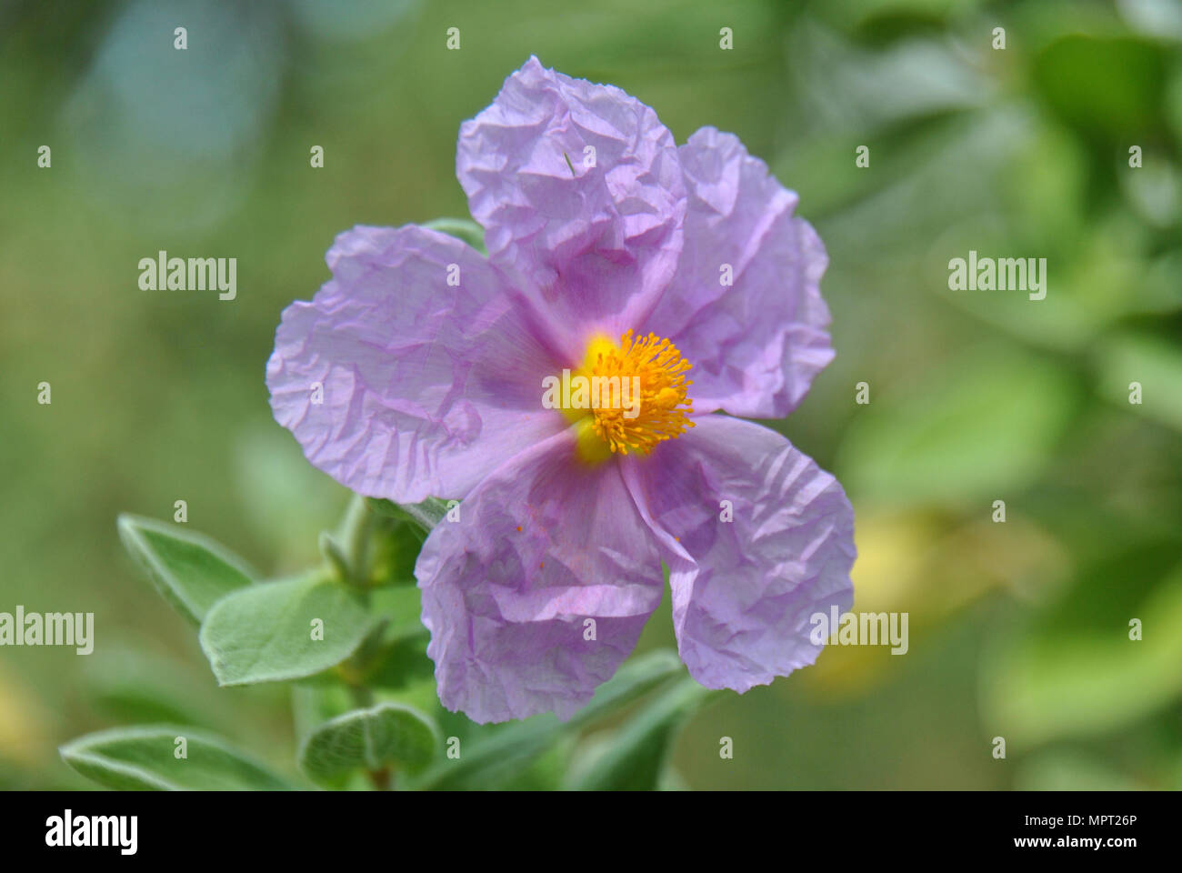 Purple Flower With Petals Looking Like Crumpled Paper With Green