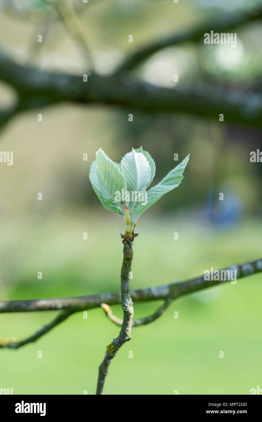Sorbus thibetica 'John Mitchell'. Tibetan Whitebeam tree leaves emerging in spring - Stock Image