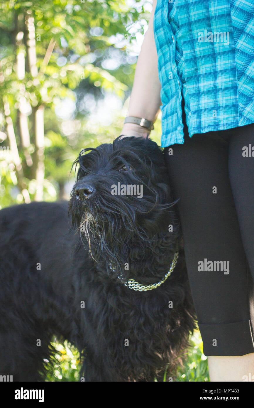Big black dog at the feet of his mistress Stock Photo