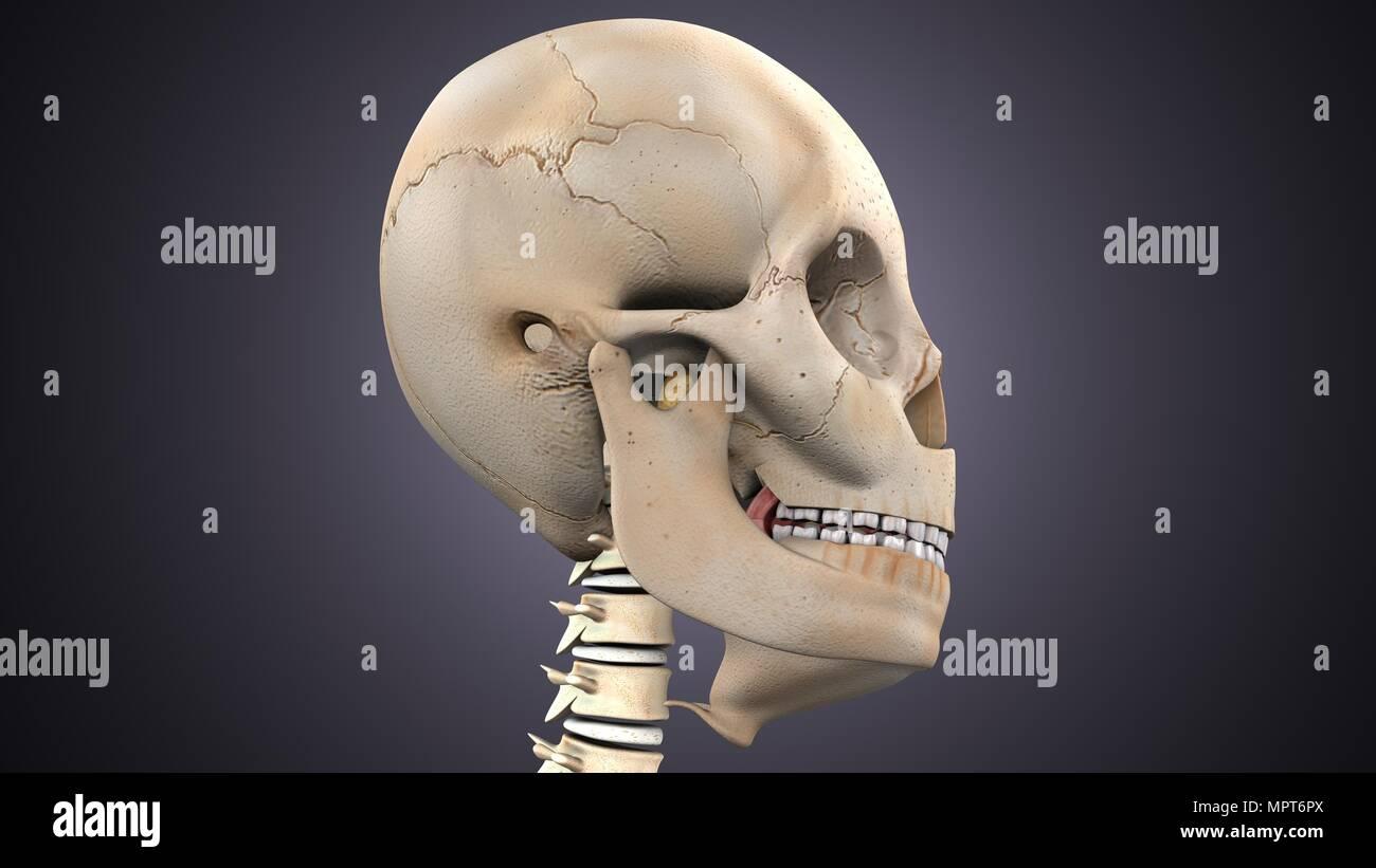 3d illustration of human body skull anatomy Stock Photo: 186158306 ...