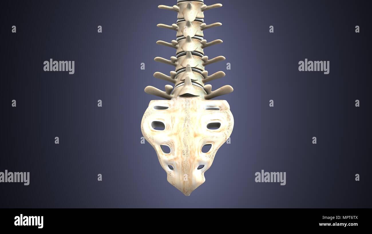 3d illustration of human body spinal bone anatomy Stock Photo ...