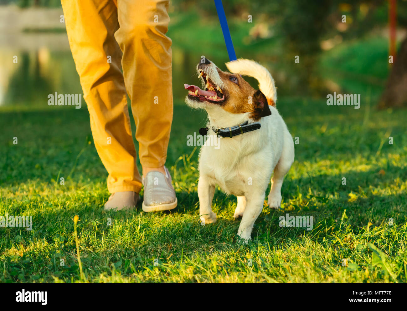 Dog walking on leash with woman during  evening stroll at park - Stock Image