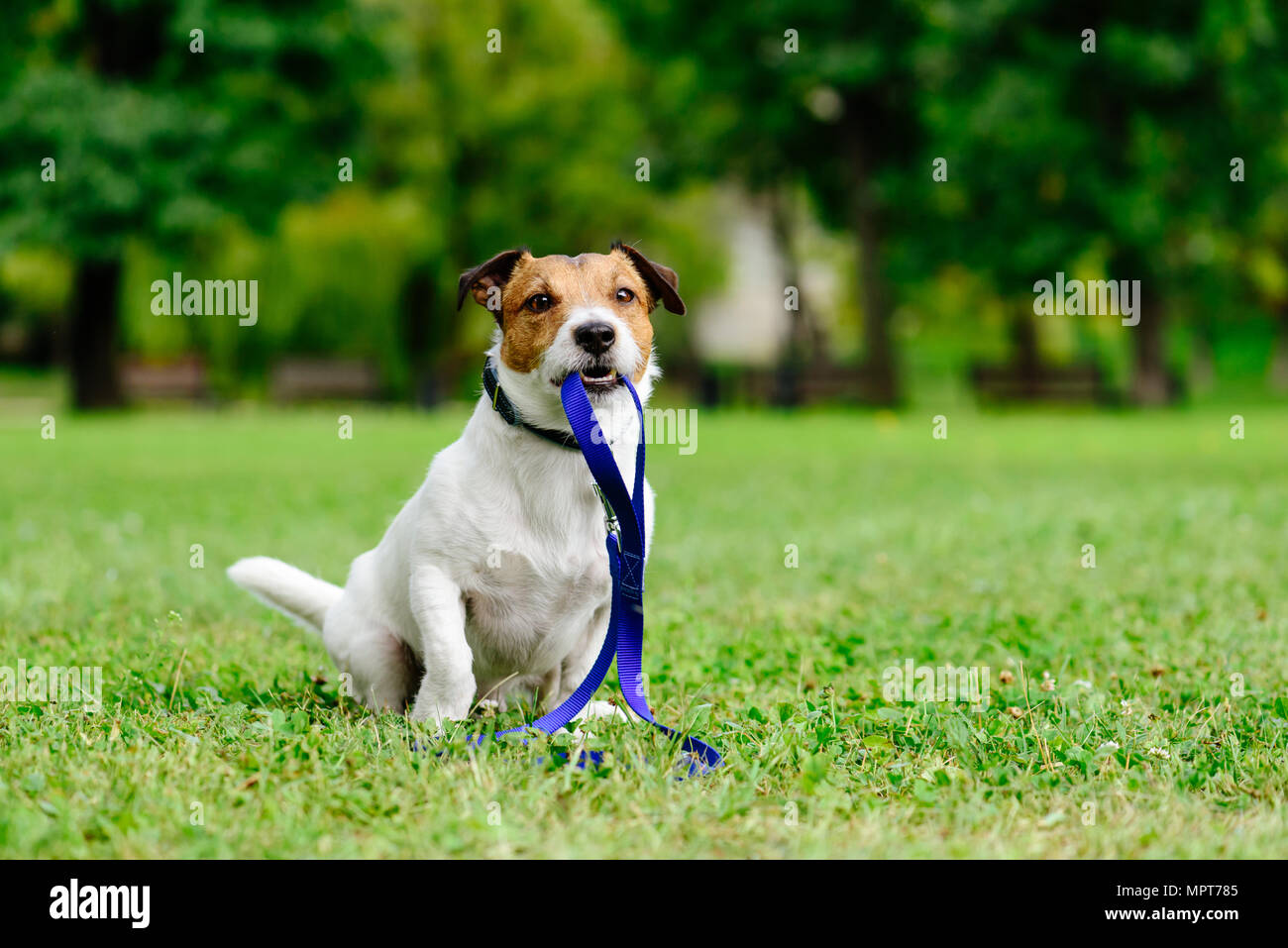 Sad lost dog with leash in mouth as concept of abandon pet needs adoption - Stock Image