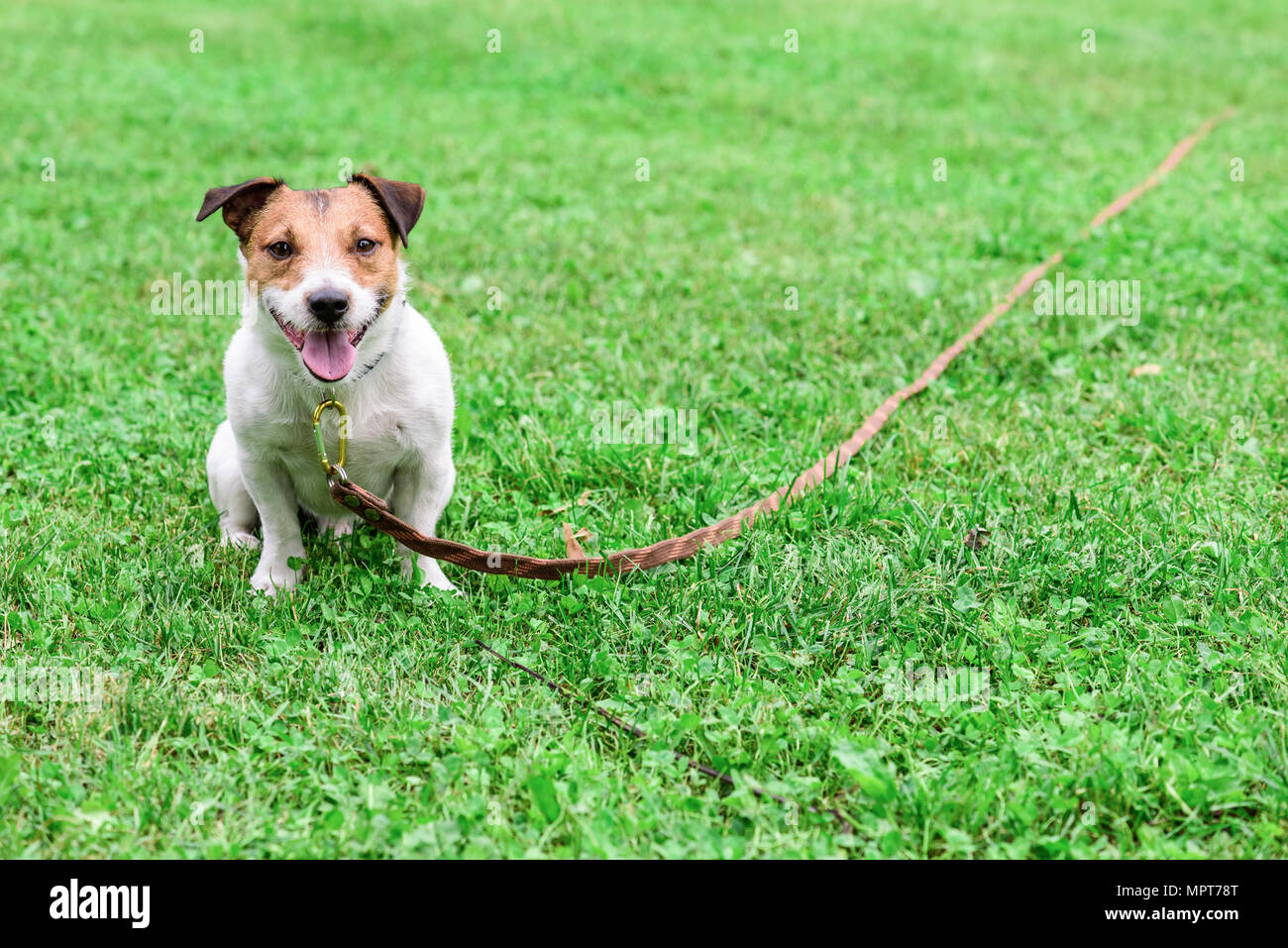 Obedient dog and long-line training leash on green grass background - Stock Image