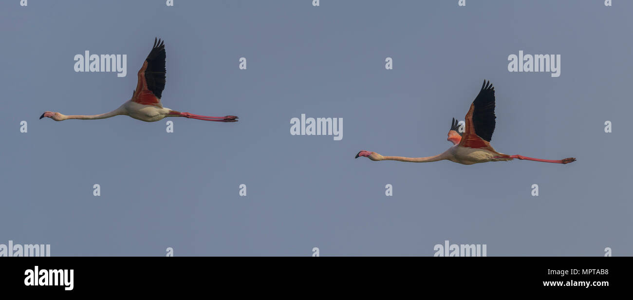 Two Greater flamingos (Phoenicopterus roseus), flying, Comacchio, Emilia-Romagna, Italy - Stock Image