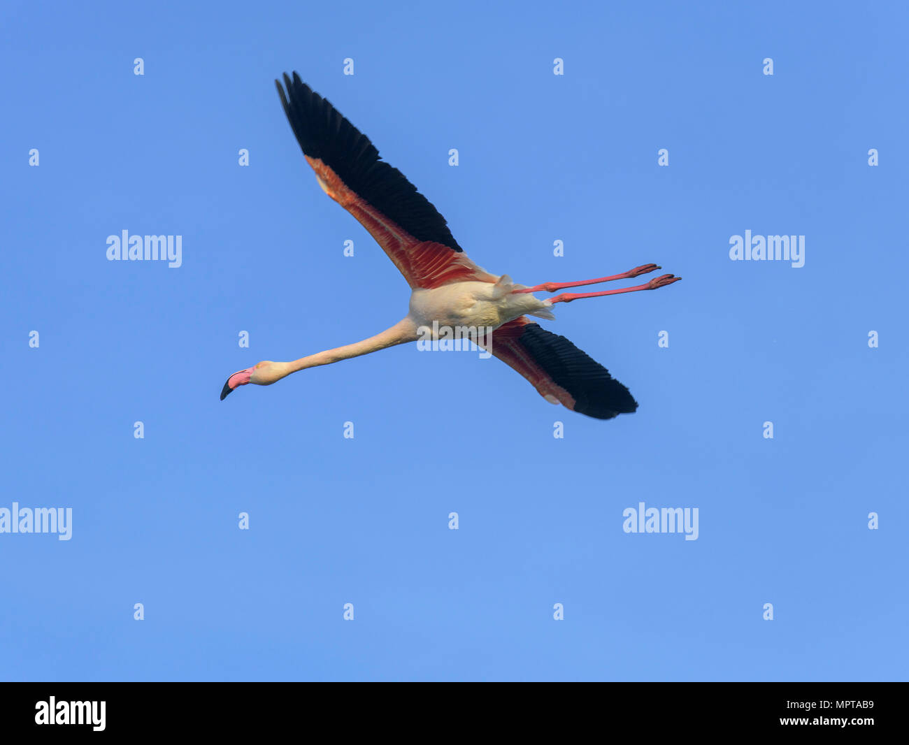 Greater flamingo (Phoenicopterus roseus), flying in blue sky, Comacchio, Emilia-Romagna, Italy - Stock Image