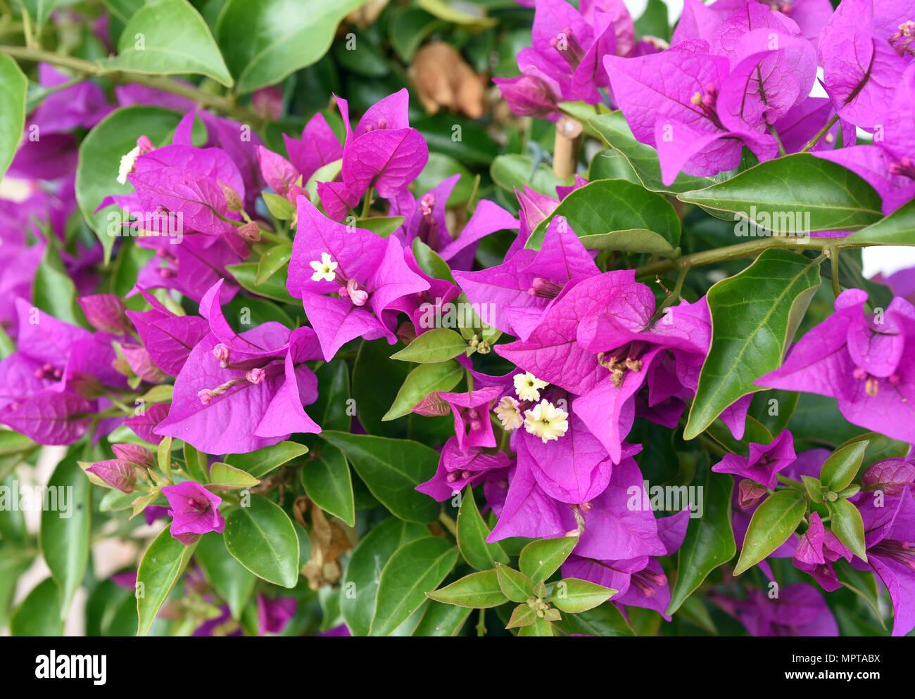 Bougainvillea, Glabra, Spectabilis, Drillingsblume, Kletterpflanze Stock Photo
