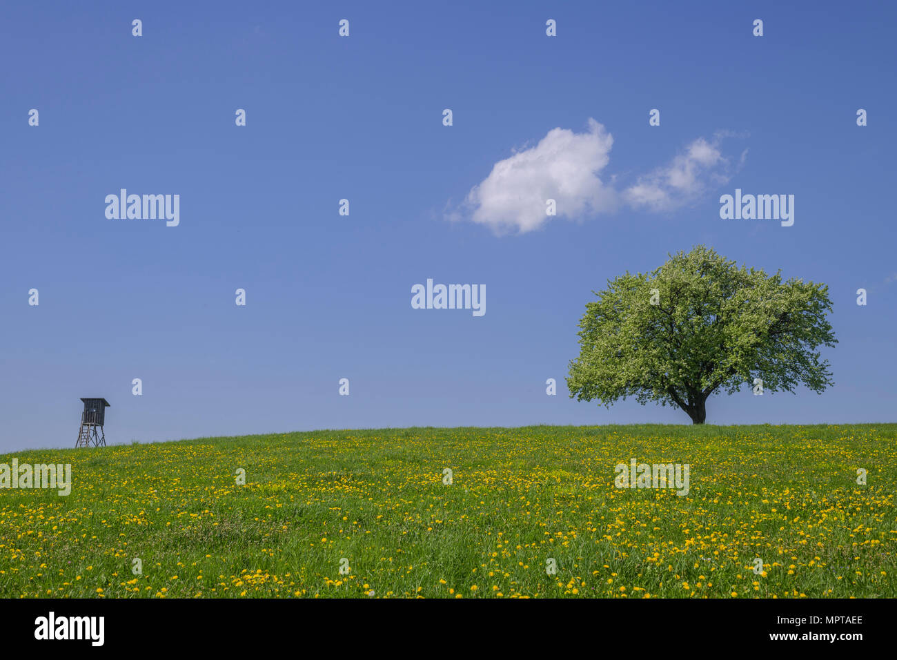 Hunters blind and single fruit tree on dandelion meadow, solitary tree, small cloud in the blue sky, near Nöstach - Stock Image