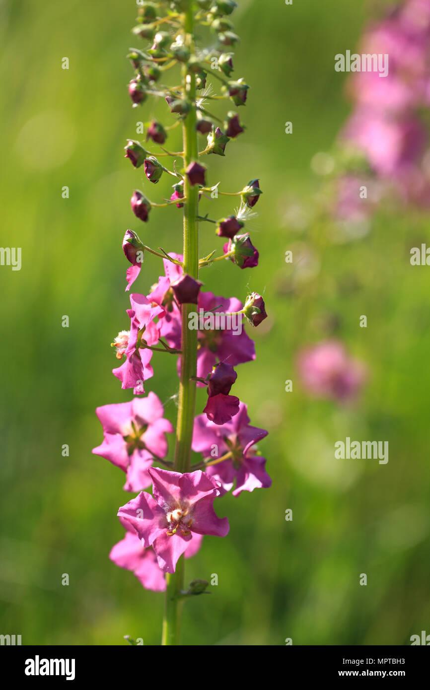 Small Purple Flowers Verbascum Phoeniceum Beautiful Meadow Field