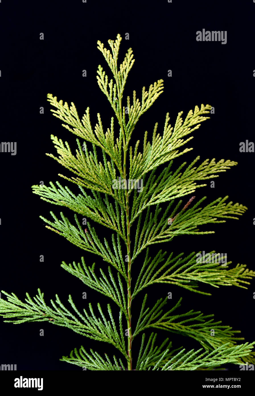 Lebensbaum, Thuja, occidentalis, Giftpflanze, Heilpflanze - Stock Image