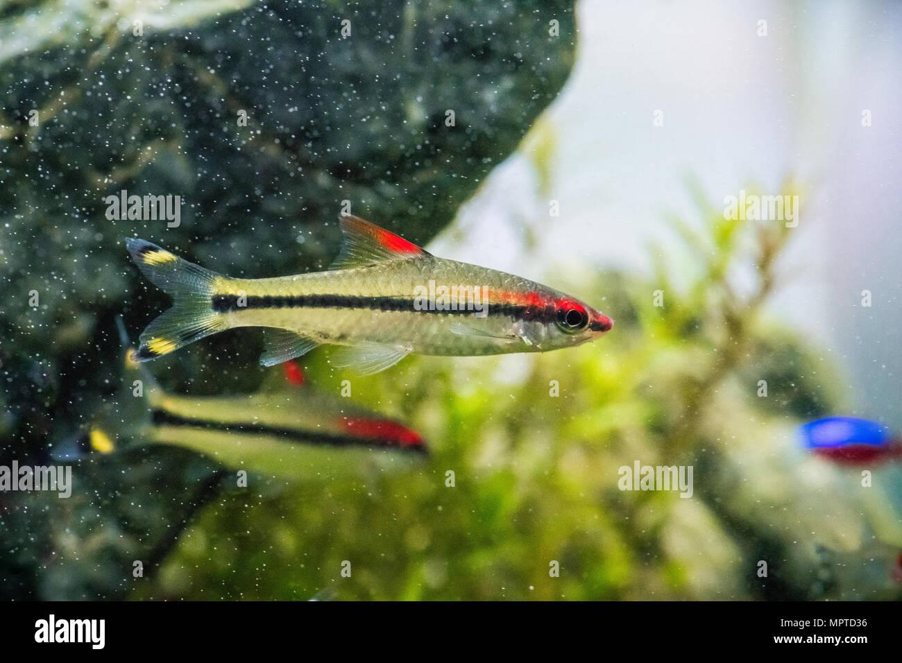 Torpedo in Aquarium Stock Photo