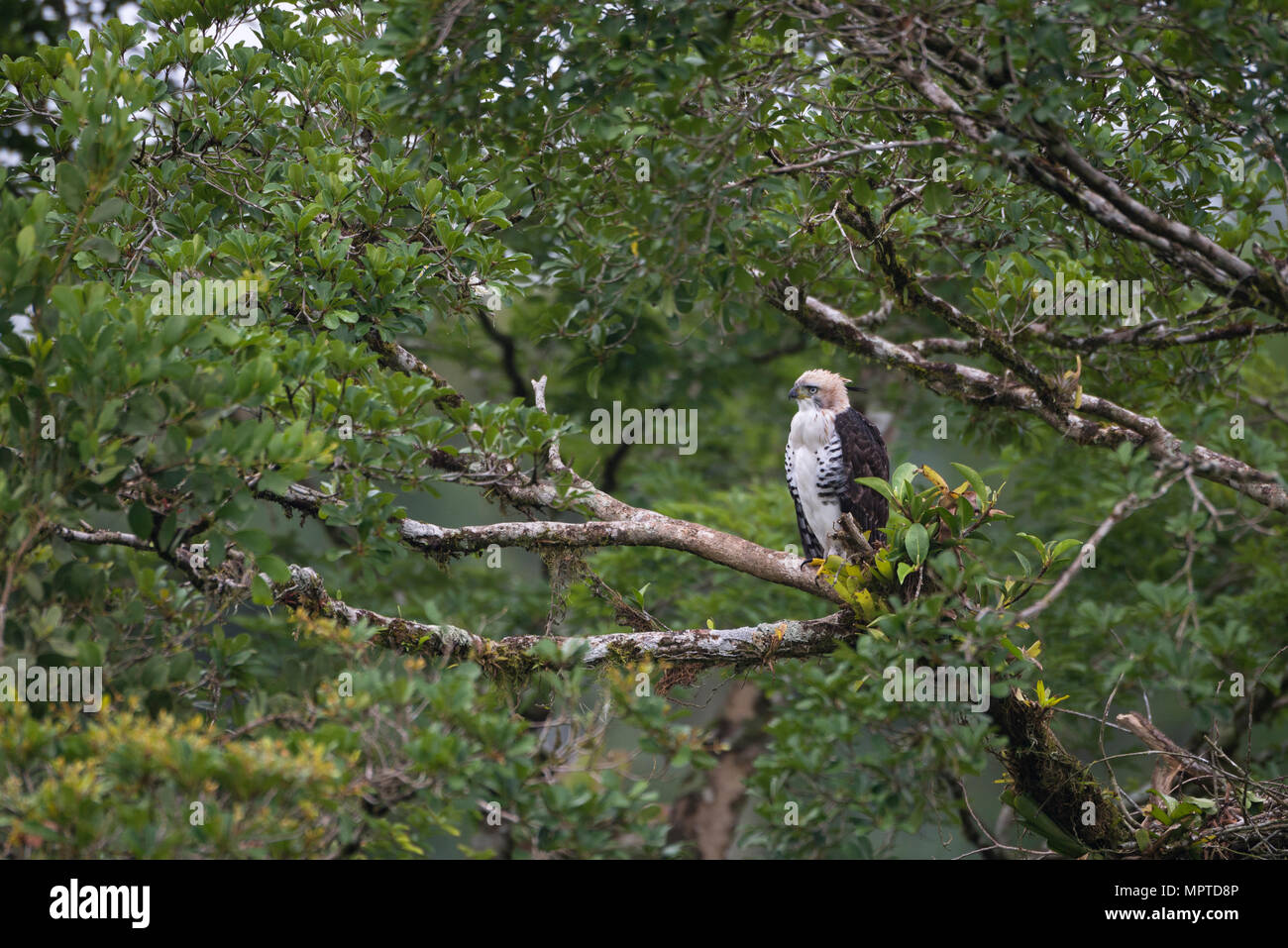 Immature Ornate Hawk-Eagle (Spizaetus ornatus) érched on a tree in the Atlantic Rainforest - Stock Image