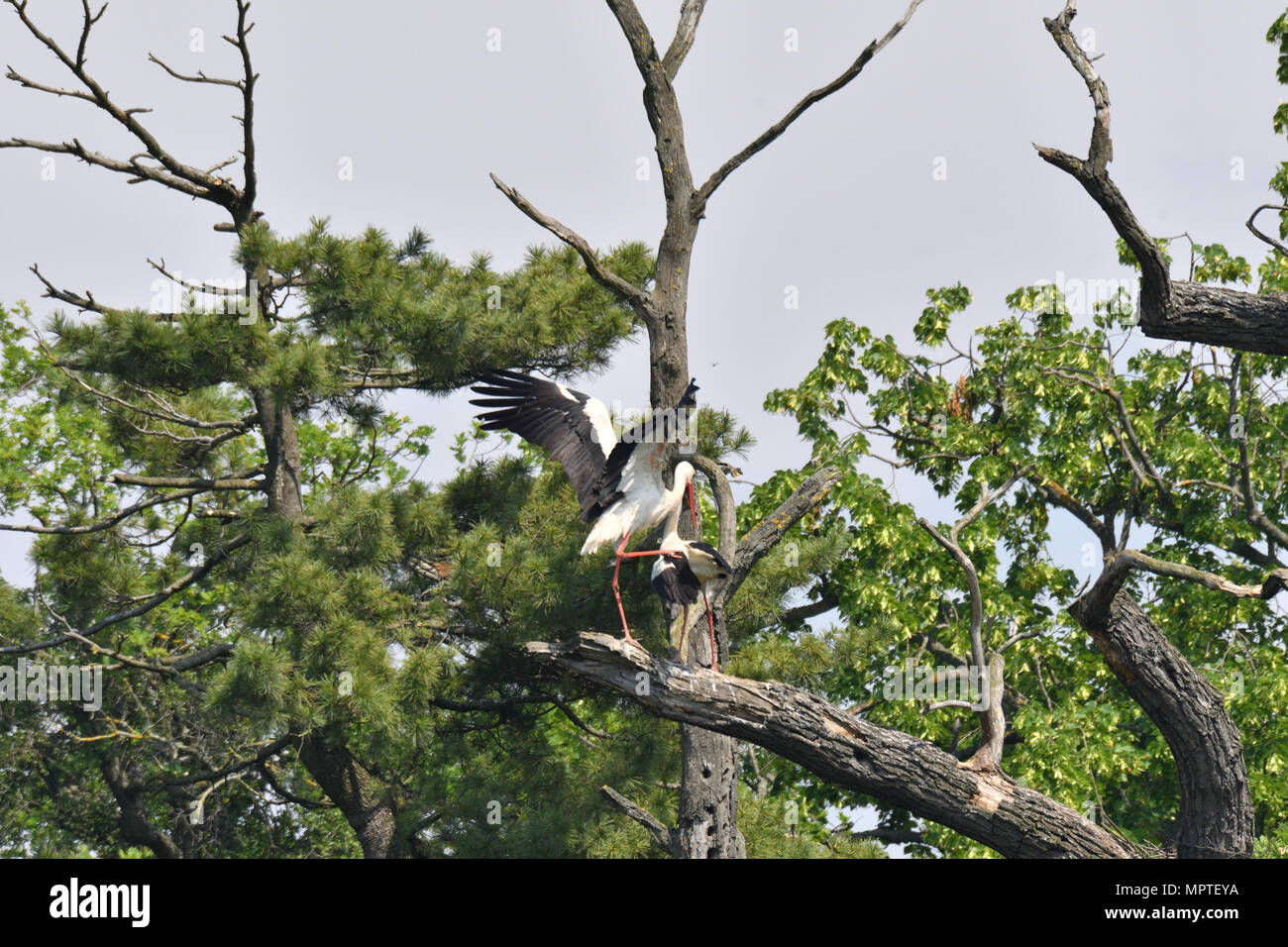 white stork high on the trees in the nest white stork high on the trees in the nest Stock Photo