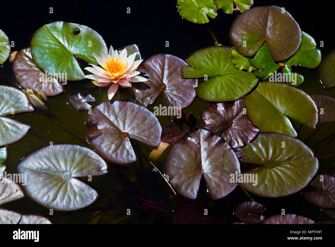 Water Lily In A Pond Water This One Is Probably The Most Beautiful