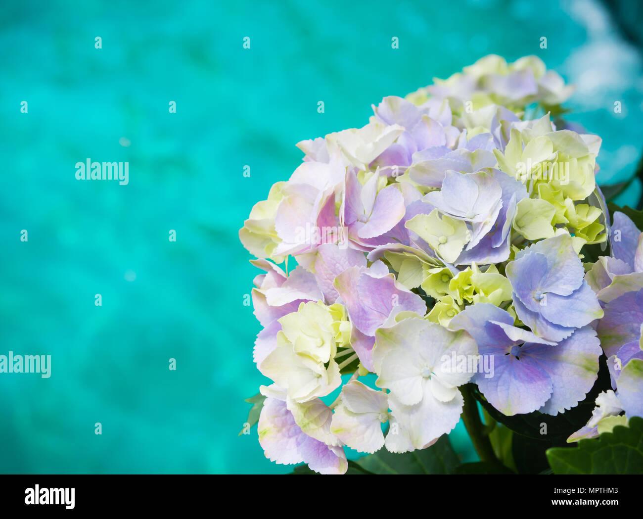 Close up purple white hydrangea paniculata limelight flowers with close up purple white hydrangea paniculata limelight flowers with blue water background izmirmasajfo