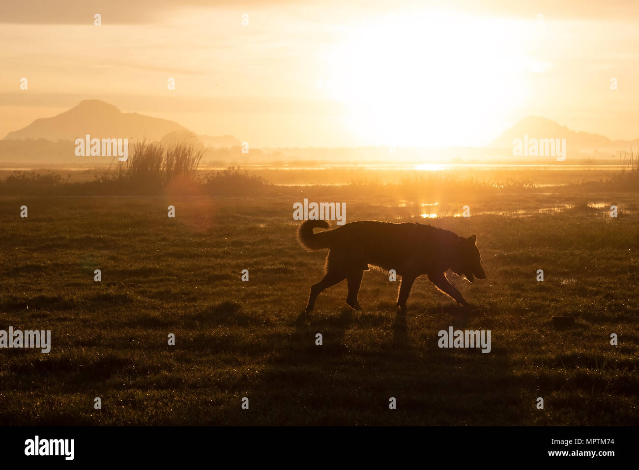 German Shepherd walking in early morning on summer meadow. - Stock Image