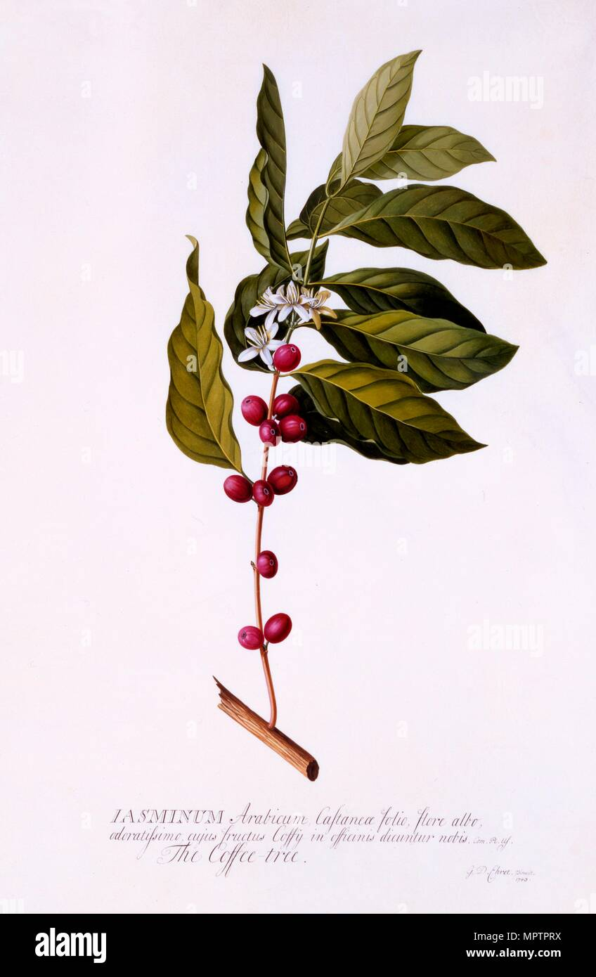 The Coffee Tree, c. 1743 (hand coloured engraving). - Stock Image
