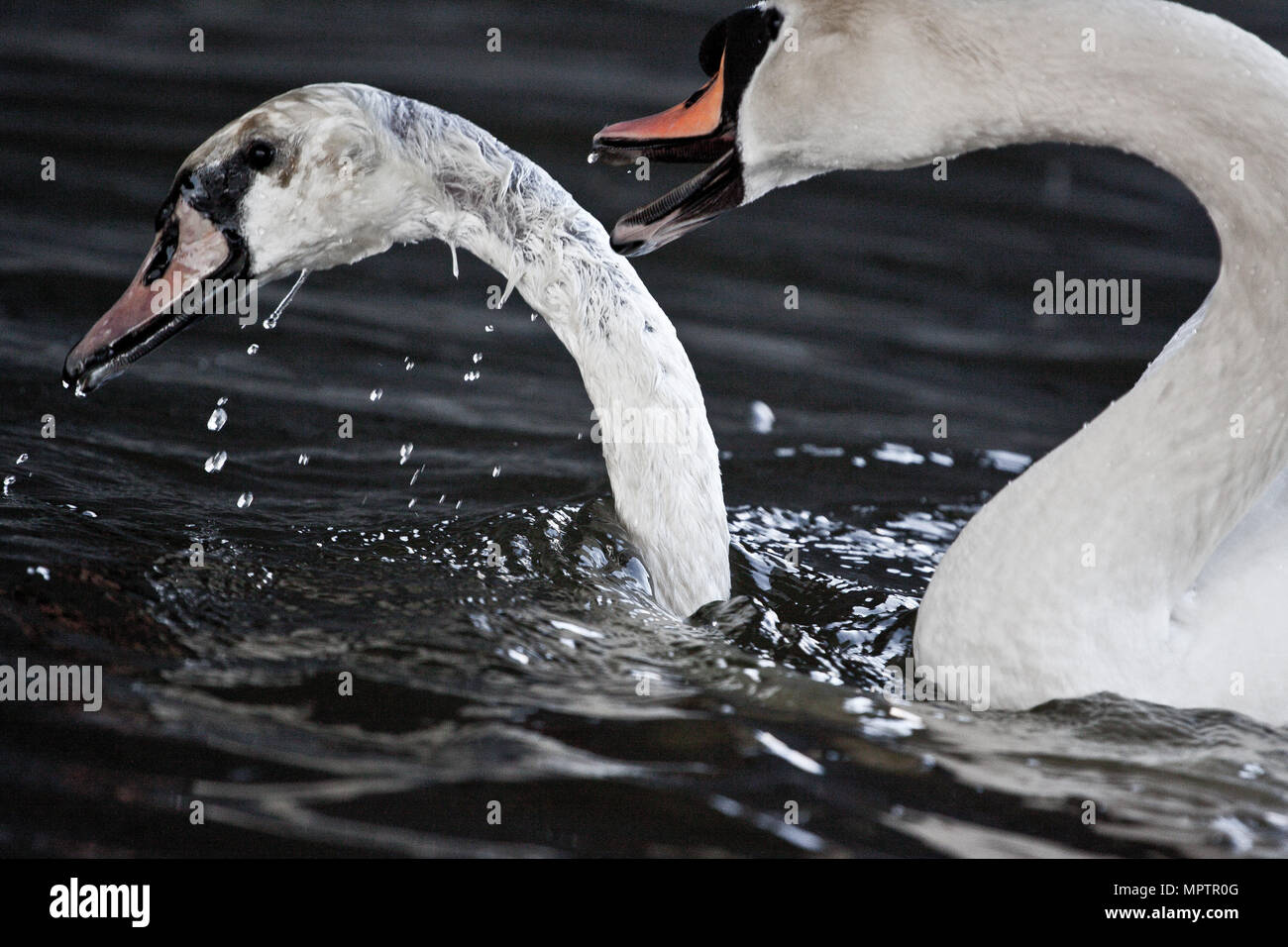 Two male swans, during a fight for supremacy in mating season on the River Stock Photo