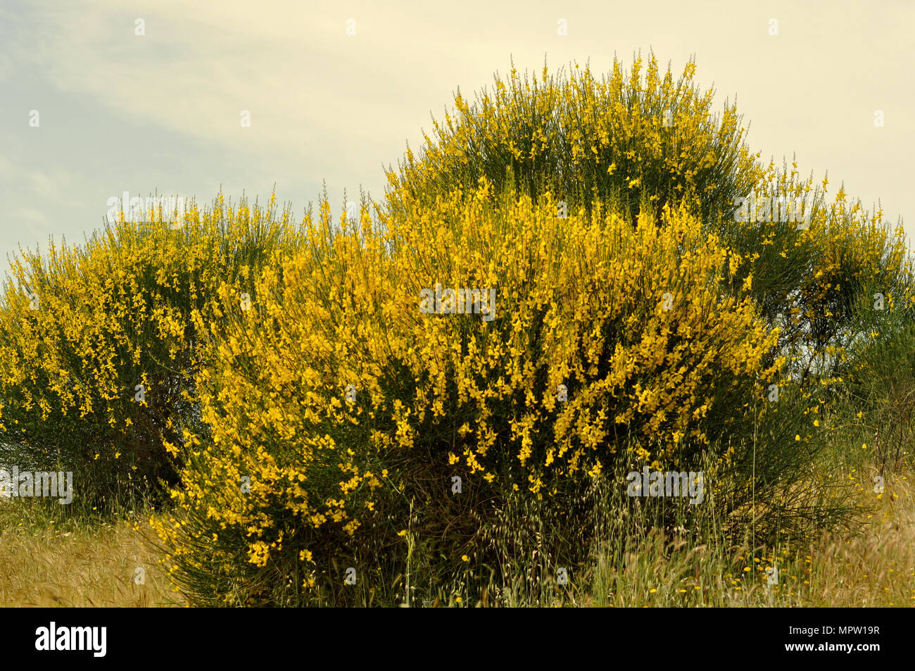 Broom Bushes With Yellow Flowers Stock Photo 186175971 Alamy