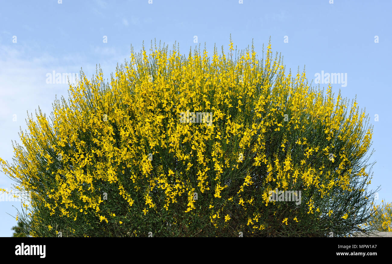 Yellow Broom Bushes Stock Photos Yellow Broom Bushes Stock Images