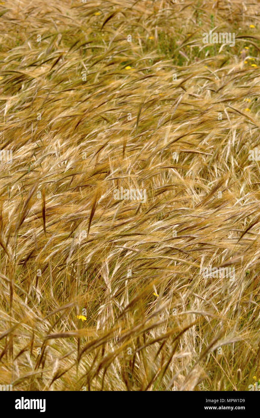 field with gramineas plants maturing - Stock Image