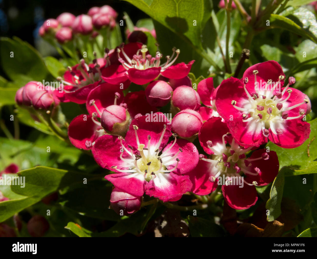 close up of hawthorn tree flowering in spring (cratageus laevigata) 'crimson cloud' variety in a garden in Cardiff UK - Stock Image